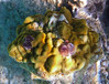 Christmas Tree Worms  at Solomon Beach, St John