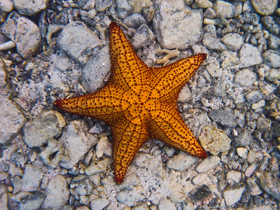 Starfish at Waterlemon Cay, St John