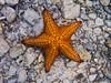 Starfish at Waterlemon Cay, St John