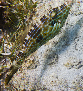 A Filesfish seen while snorkling in Lamshur Bay, St John