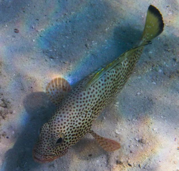 Coney fish at Waterlemon Cay, St John