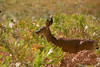 <b>Doe in meadow</b>   (Sep 18, 2007, 08:21am)