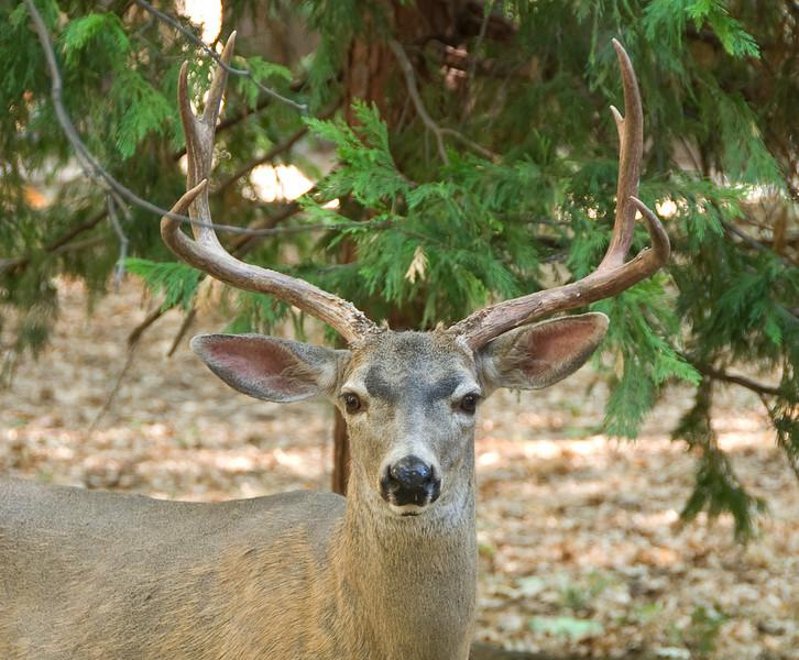 <b>Deer in Yosemite Valley</b>   (Sep 18, 2007, 07:47am)  Seen outside the Ansel Adams Gallery