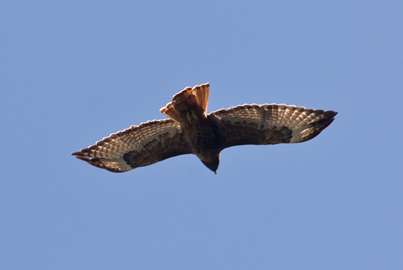 <b>Short-tailed Hawk in flight</b>   (Sep 17, 2007, 11:27am)