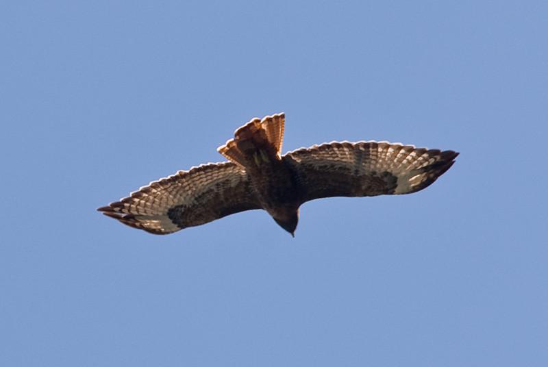 <b>Short-tailed Hawk in flight</b>   (Sep 17, 2007, 11:27am)