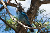 <b>Steller's jay</b>   (Sep 17, 2007, 11:03am)