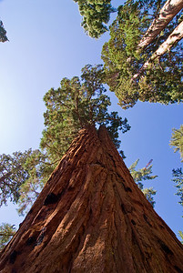 Giant sequoias in Mariposa Grove   (Sep 16, 2007, 09:56am)