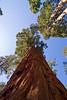 <b>Giant sequoias in Mariposa Grove</b>   (Sep 16, 2007, 09:56am)