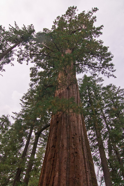 <b>Giant Sequoia in Tuolumne Grove</b>   (Sep 19, 2007, 09:41am)