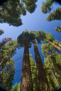 Tree tops in Mariposa Grove   (Sep 16, 2007, 10:45am)