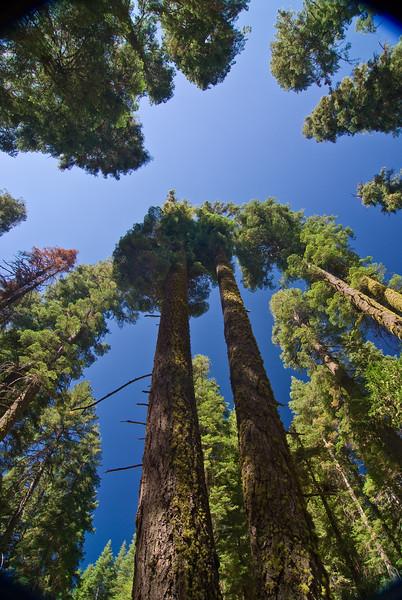 <b>Tree tops in Mariposa Grove</b>   (Sep 16, 2007, 10:45am)