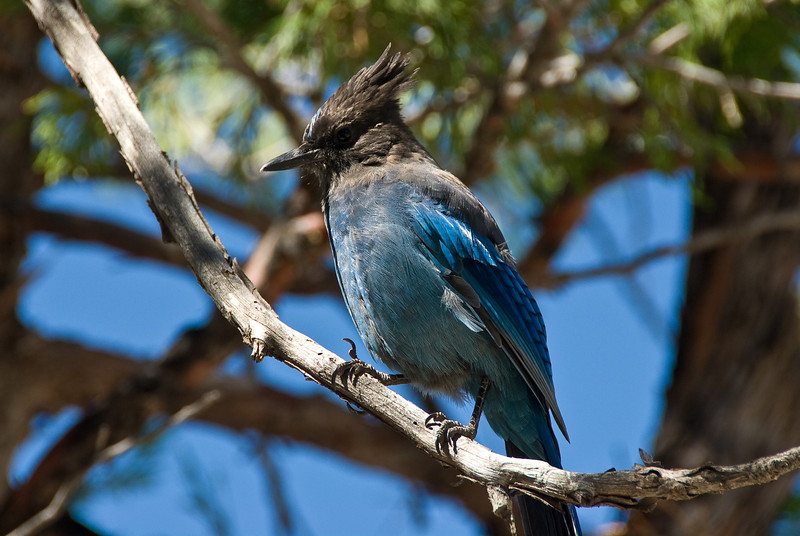 <b>Steller's jay above Nevada Falls</b>   (Sep 17, 2007, 11:03am)