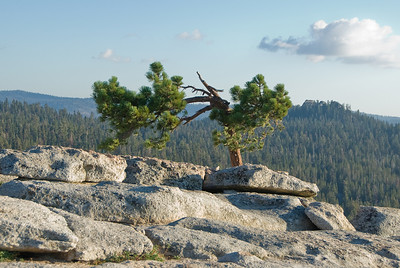 Tree seen from Sentinel Dome   (Sep 16, 2007, 05:07pm)