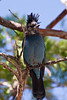 <b>Steller's jay</b>   (Sep 17, 2007, 10:58am)