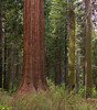 <b>Base of giant sequoia in Tuolumne Grove</b>   (Sep 19, 2007, 09:54am)