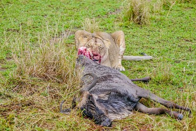 A lioness feasts on a wildebeest she has just killed during the annual great migration in Kenya.