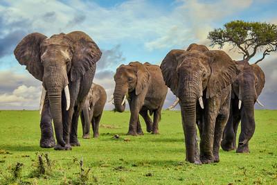 Elephants in Kenya.