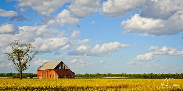 Old barn in a soybean field