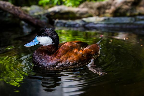 Roseate Spoonbill At Florida Aquarium