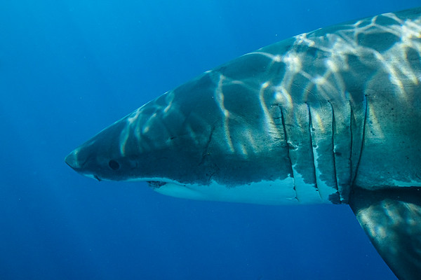 White Sharks Guadalupe