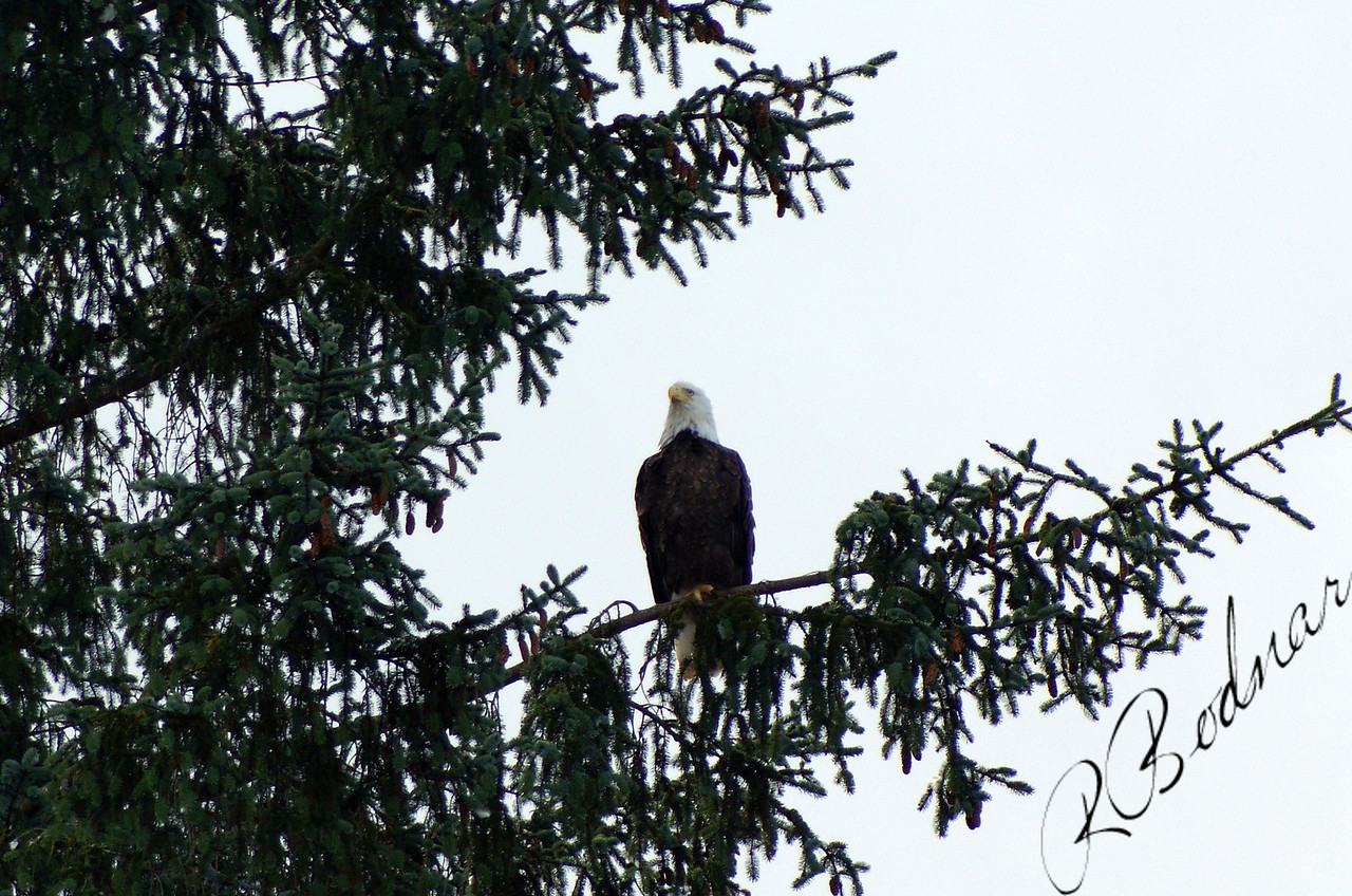 Photo By Robert Bodnar.................Eagle in Prince Rupert BC