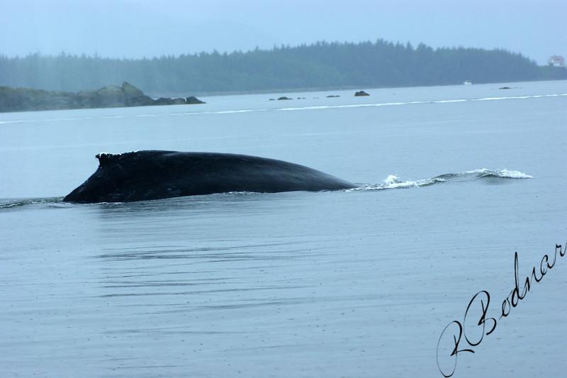 Photo By Robert Bodnar....... Whale,  Lynn Canal, Juneau Alaska