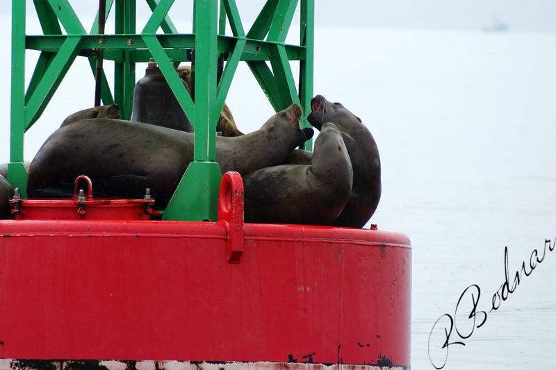 Photo By Robert Bodnar..........Seals kissing