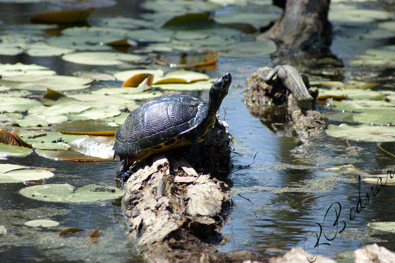 Photo By Robert Bodnar.....................Turtle with Baby gator