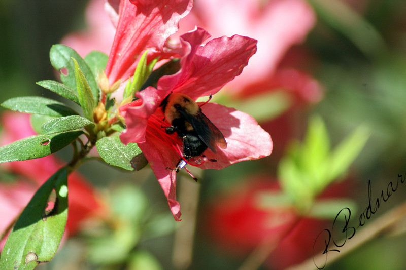Photo By Robert Bodnar............................Bumble Bee Getting Nectar