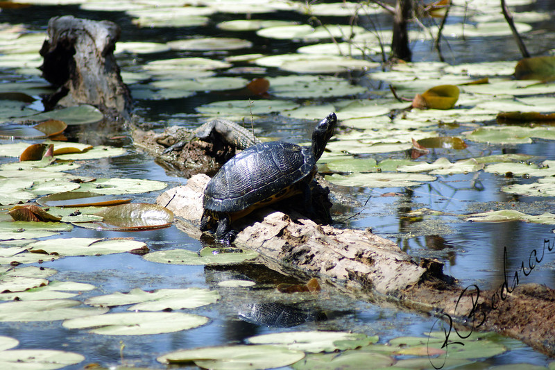 Photo By Robert Bodnar......................Turtle with the gator I did'n see