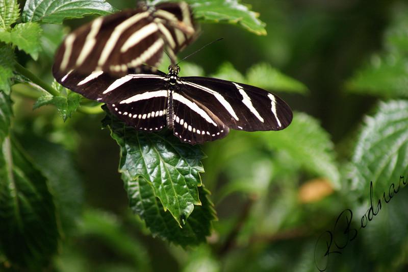 Photo By Robert Bodnar...................Zebra Heliconian Butterfly