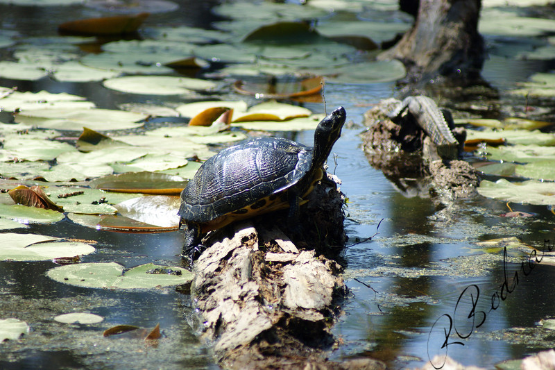 Photo By Robert Bodnar...........Turtle with Baby Gator to the Right,  And I didn't know it at the time I took the Picure