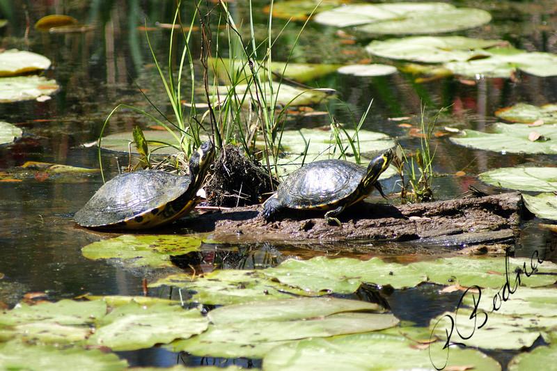 Photo By Robert Bodnar...................................Turtles