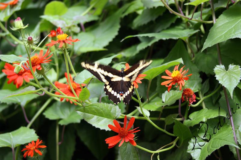 Photo By Robert Bodnar......................Giant Swallowtail Butterfly