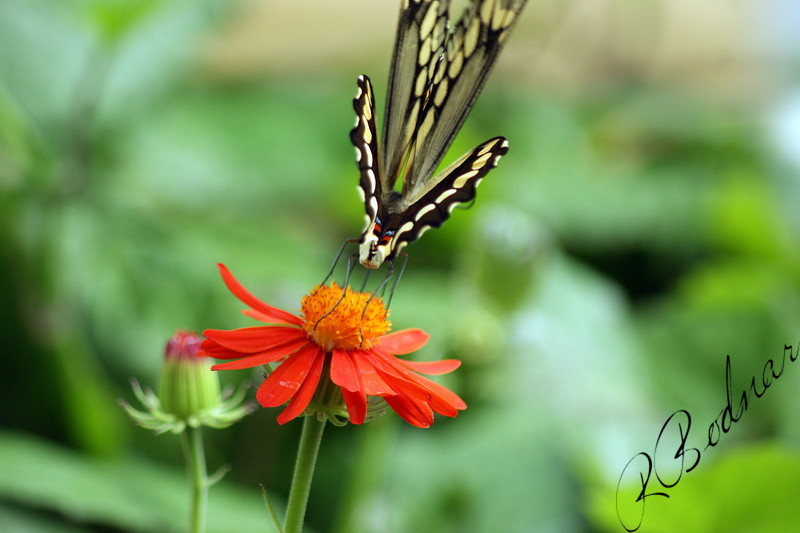 Photo By Robert Bodnar.........................Giant Swallowtail Butterfly