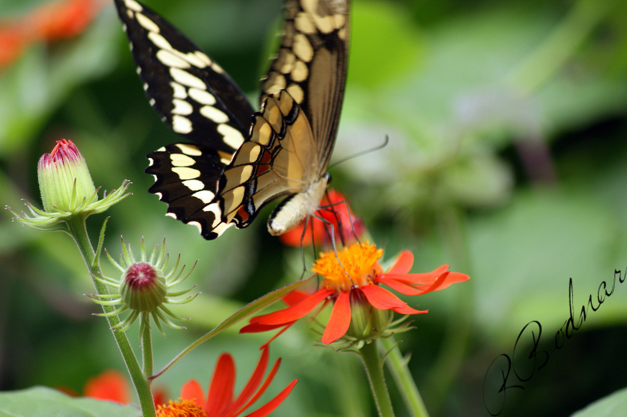 Photo By Robert Bodnar............................Giant Swallowtail Butterfly