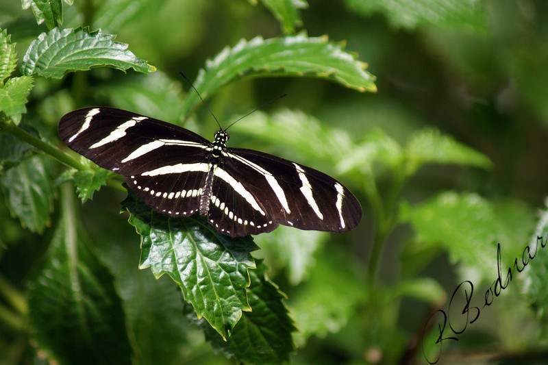 Photo by Robert Bodnar.....................Zebra Heliconian Butterfly