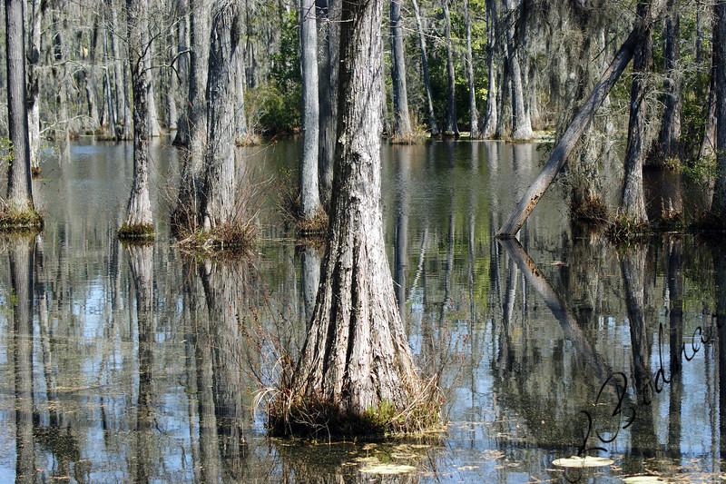 Photo By Robert Bodnar.....................Cypress Tree in Swamp