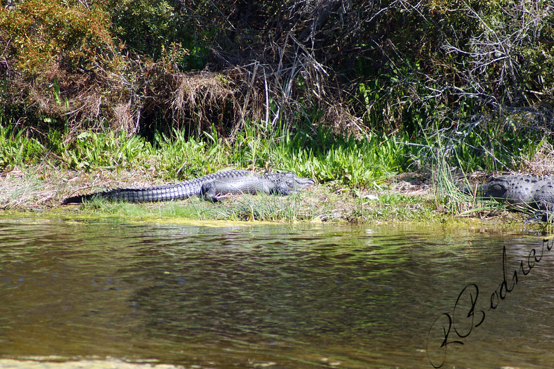 Photo By Robert Bodnar.................... A Couple of Alligator