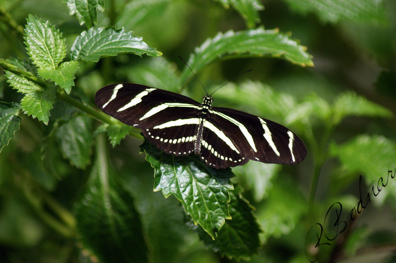 Photo By Robert Bodnar....................Zebra Heliconian Butterfly