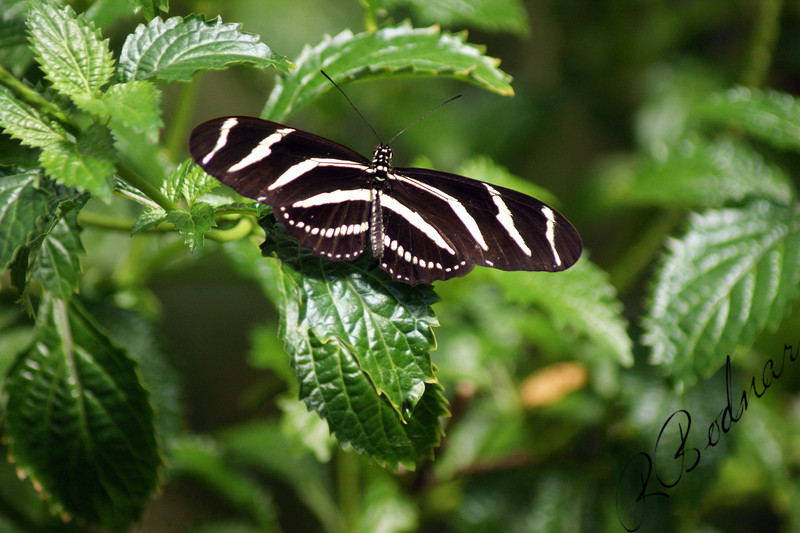 Photo By Robert Bodnar.................Zebra Heliconian Butterfly