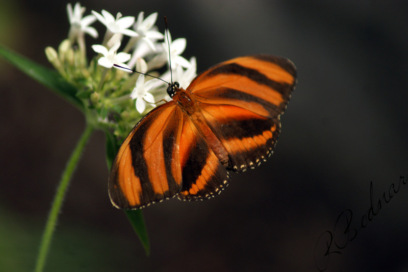 Photo By Robert Bodnar........................Banded Orange Heliconian Butterfly