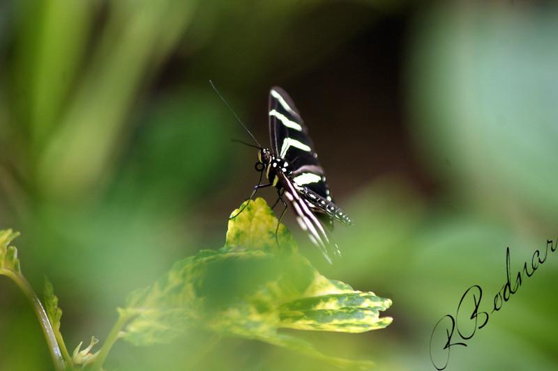 Photo By Robert Bodnar....................Zebra Heliconian Butterfly