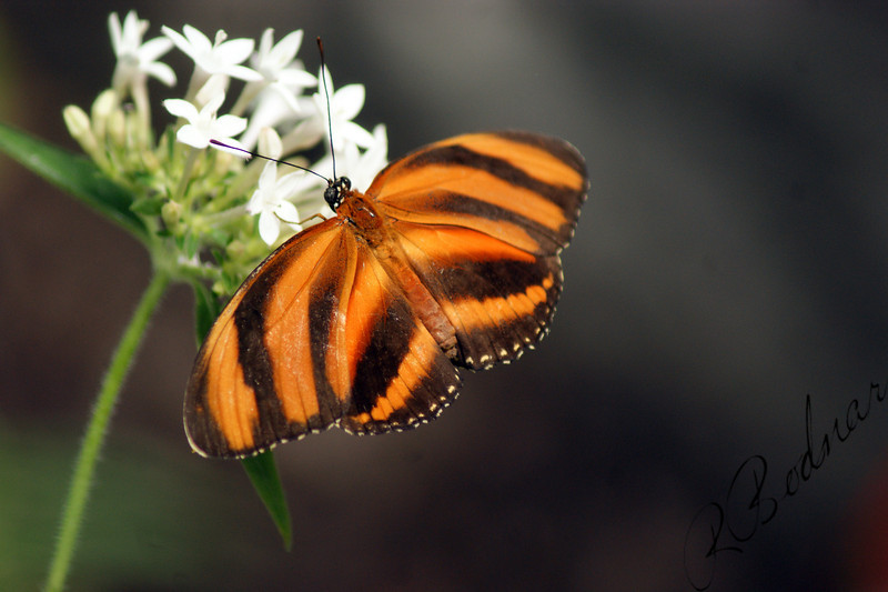 Photo By Robert Bodnar....................Banded Orange Heliconian Butterfly