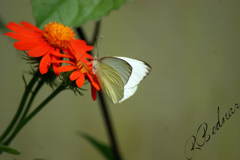 Photo By Robert Bodnar.................White Butterfly