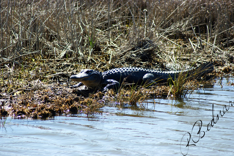 Photo By Robert Bodnar...................... The Small Gator
