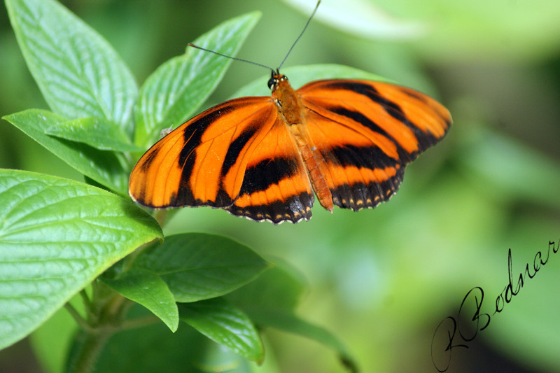 Photo By Robert Bodnar................................Banded Orange Heliconian Butterfly