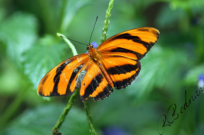 Photo By Robert Bodnar..........................Banded Orange Heliconian Butterfly