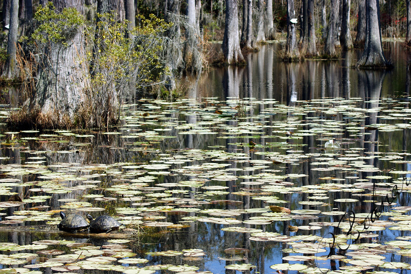 Photo By Robert Bodnar................Water Lily Swamp