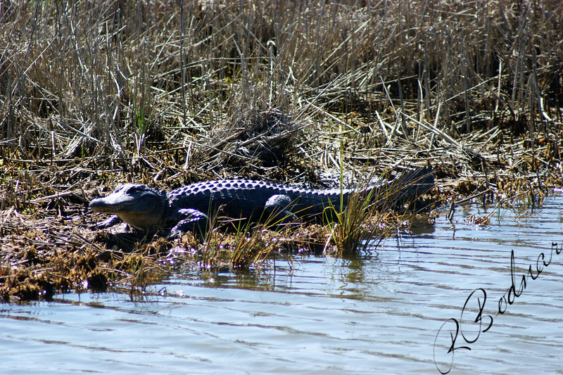 Photo By Robert Bodnar.........................This is a small Alligator
